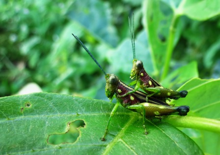 An amorous couple of grasshoppers.