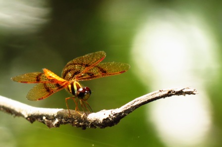 Stunning Dragonflies. And they eat the mosquitoes!