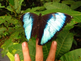 Giant butterflies, the size of an open palm. They grow to become several years in age and hence the damaged wings