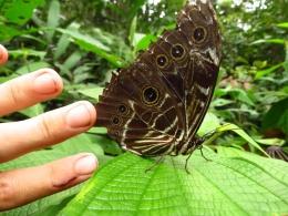 Huge butterflies