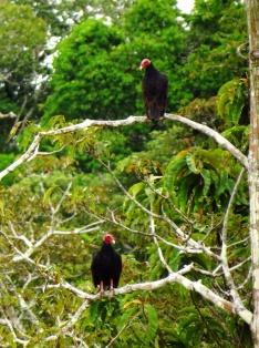Jungle vultures
