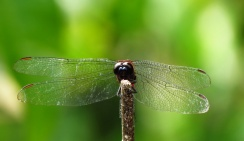 More dragonflies