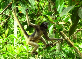 Wild monkeys roamed around the zoo, as they had learned that they could steal food. Here a Mono Arana = Spider Monkey