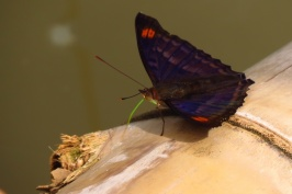 Many beautiful butterflies visiting our raft.