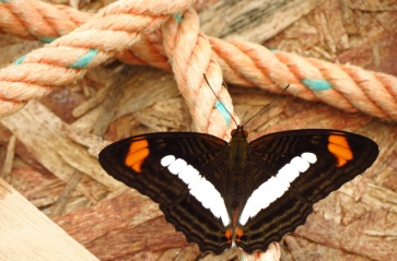 Sweat on our ropes, a great source of salt for a butterfly.