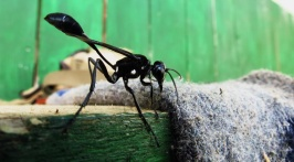 Large 5cm wasp (2inch)