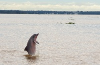 A huge population of dolphins live in the river. It's hard to catch them jumping, but I finally got this one.