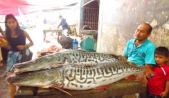 Giant fishes; I think these are called Sungaro